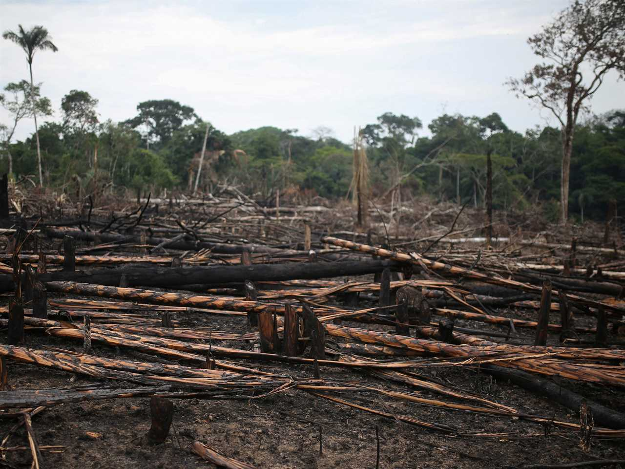 charred trees logs fill a field that used to be forest
